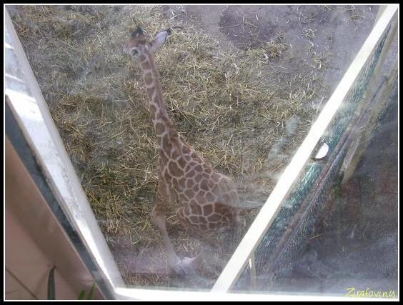 Žirafička